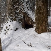 Examples of Himalaya bear dens